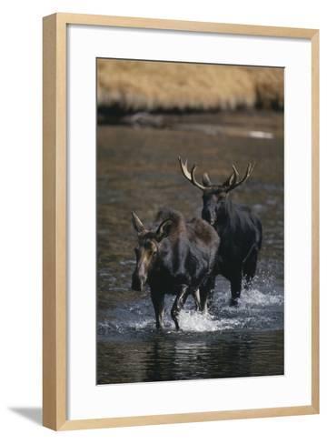 Moose Walking in River-DLILLC-Framed Art Print