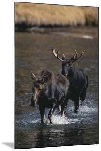 Moose Walking in River-DLILLC-Mounted Photographic Print