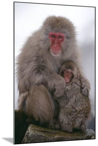 Japanese Macaque with Baby-DLILLC-Mounted Photographic Print