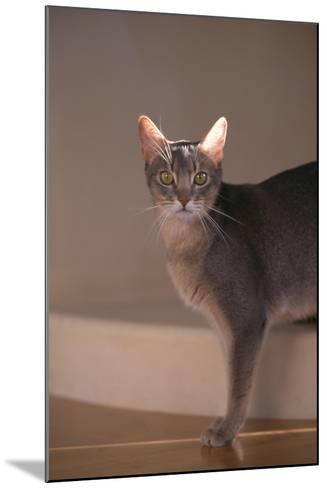 Abyssinian Blue Cat on Step-DLILLC-Mounted Photographic Print