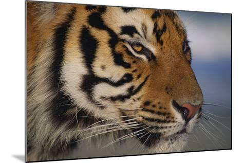 Bengal Tiger-DLILLC-Mounted Photographic Print