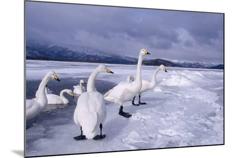Whooper Swans on Frozen Lake-DLILLC-Mounted Photographic Print
