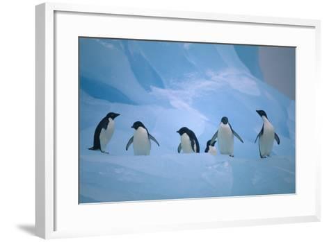Adelie Penguins Walking on Ice Floe-DLILLC-Framed Art Print