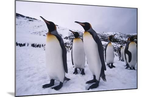 King Penguins-DLILLC-Mounted Photographic Print