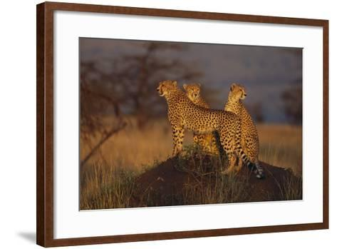Cheetahs on Mound-DLILLC-Framed Art Print