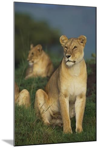 Lions in Grass-DLILLC-Mounted Photographic Print