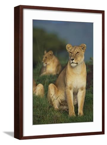 Lions in Grass-DLILLC-Framed Art Print