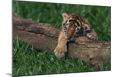 Bengal Tiger Cub Asleep on Fallen Tree-DLILLC-Mounted Photographic Print