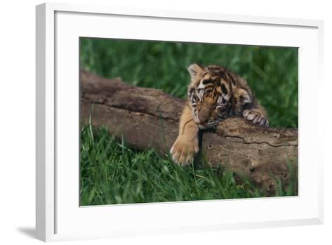 Bengal Tiger Cub Asleep on Fallen Tree-DLILLC-Framed Art Print