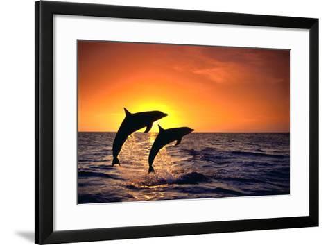 Bottlenosed Dolphins Leaping at Sunset-DLILLC-Framed Art Print