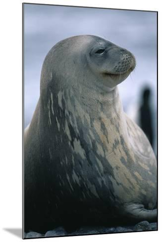 Weddell Seal-DLILLC-Mounted Photographic Print
