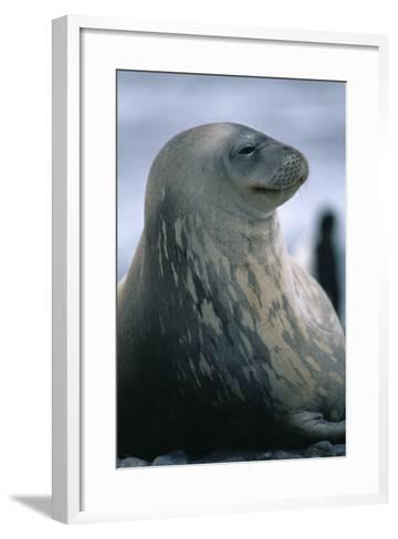 Weddell Seal-DLILLC-Framed Art Print