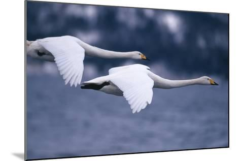 Whooper Swans Flying over Lake-DLILLC-Mounted Photographic Print