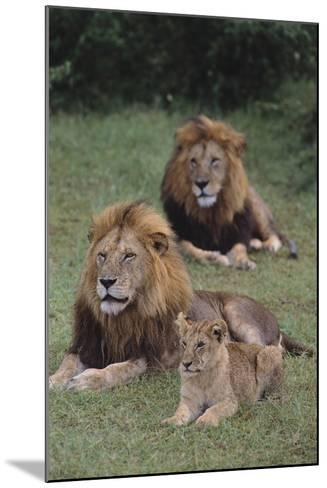 Adult Lions with Cub in Grass-DLILLC-Mounted Photographic Print