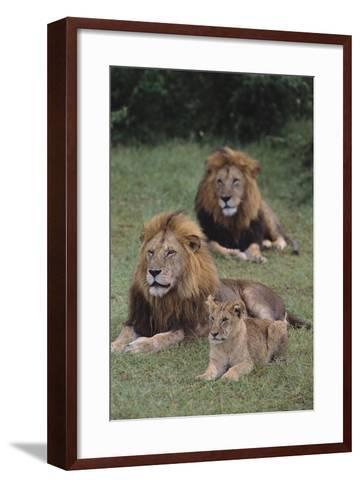 Adult Lions with Cub in Grass-DLILLC-Framed Art Print