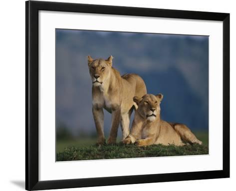 Lions Lying in Grass-DLILLC-Framed Art Print