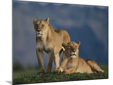 Lions Lying in Grass-DLILLC-Mounted Photographic Print