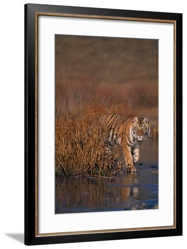 Bengal Tiger-DLILLC-Framed Art Print