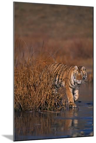 Bengal Tiger-DLILLC-Mounted Photographic Print