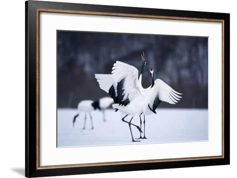 Red-Crowned Cranes in Courtship Display-DLILLC-Framed Art Print