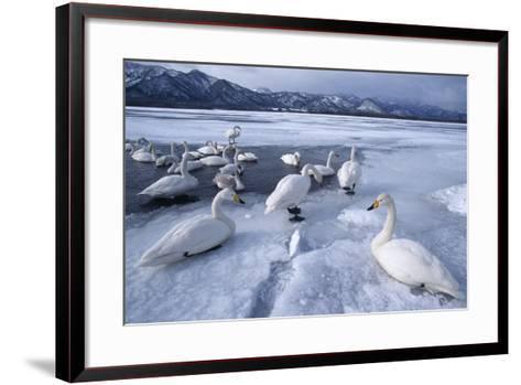 Whooper Swans on Frozen Lake-DLILLC-Framed Art Print