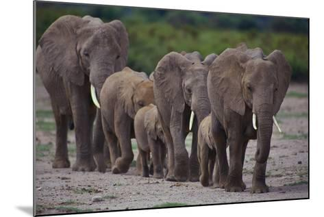 African Elephants Walking in Line-DLILLC-Mounted Photographic Print