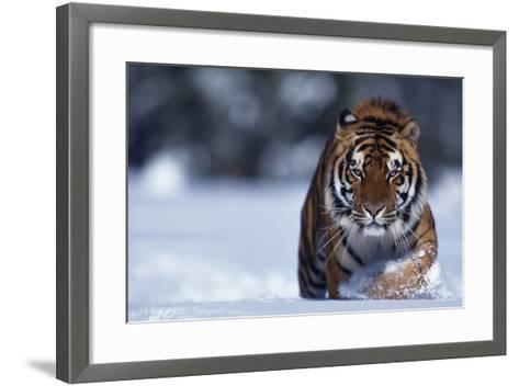 Bengal Tiger Walking in Snow-DLILLC-Framed Art Print