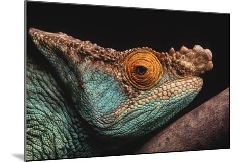 Parson's Chameleon on Branch-DLILLC-Mounted Photographic Print