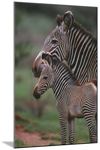Grevy's Zebras-DLILLC-Mounted Photographic Print