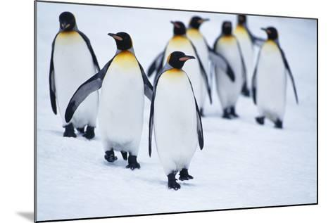 King Penguins Walking in Snow-DLILLC-Mounted Photographic Print