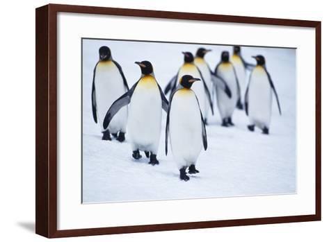 King Penguins Walking in Snow-DLILLC-Framed Art Print