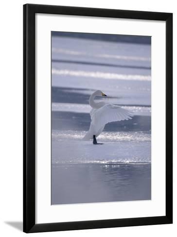 Whooper Swan Standing on Ice-DLILLC-Framed Art Print