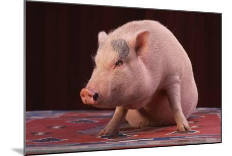 Sitting Pot-Bellied Pig-DLILLC-Mounted Photographic Print