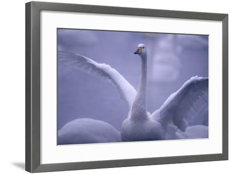 Whooper Swan Stretching Wings-DLILLC-Framed Art Print