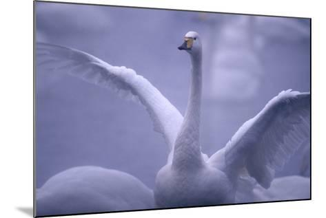 Whooper Swan Stretching Wings-DLILLC-Mounted Photographic Print