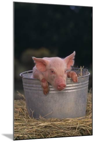 Piglet in a Pail-DLILLC-Mounted Photographic Print