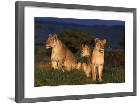 Lionesses in Grass-DLILLC-Framed Art Print