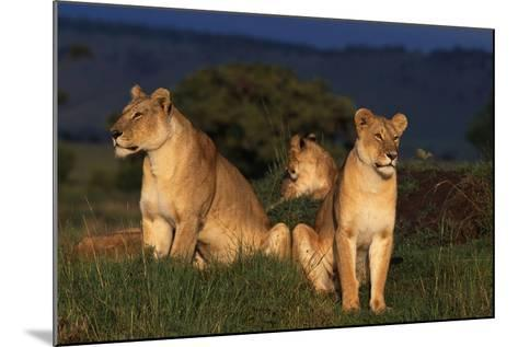 Lionesses in Grass-DLILLC-Mounted Photographic Print