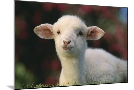 Lamb in Grass-DLILLC-Mounted Photographic Print