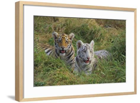 Bengal Tiger Cubs in Grass-DLILLC-Framed Art Print
