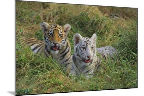 Bengal Tiger Cubs in Grass-DLILLC-Mounted Photographic Print