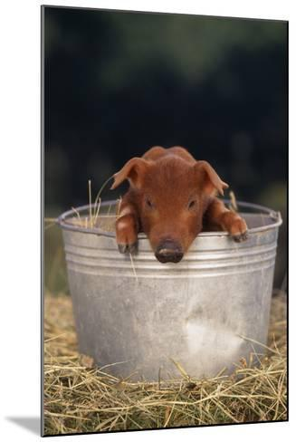 Duroc Piglet in a Pail-DLILLC-Mounted Photographic Print