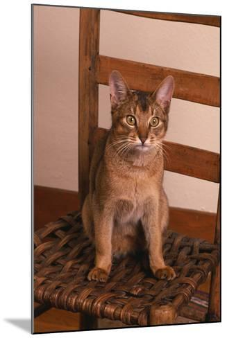Abyssinian Ruddy Cat Sitting on Chair-DLILLC-Mounted Photographic Print