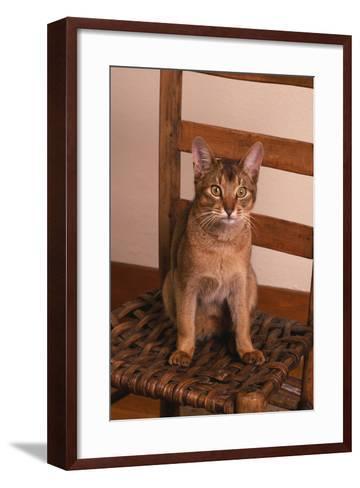 Abyssinian Ruddy Cat Sitting on Chair-DLILLC-Framed Art Print