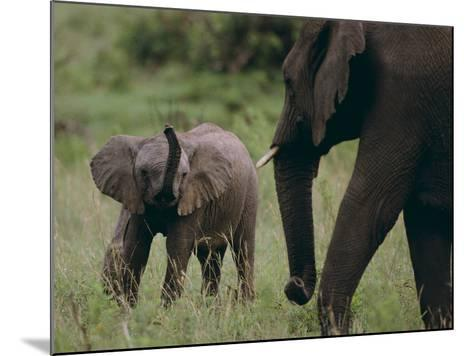 African Elephant Calf with Parent in Grass-DLILLC-Mounted Photographic Print