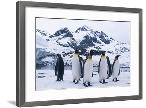 King Penguins Looking in All Directions-DLILLC-Framed Art Print