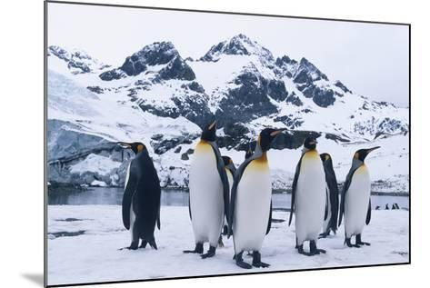 King Penguins Looking in All Directions-DLILLC-Mounted Photographic Print