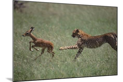 Cheetah Chasing Impala Foal in Grass-DLILLC-Mounted Photographic Print