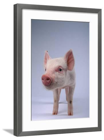 Yorkshire Piglet-DLILLC-Framed Art Print