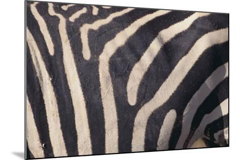 Zebra Flank-DLILLC-Mounted Photographic Print